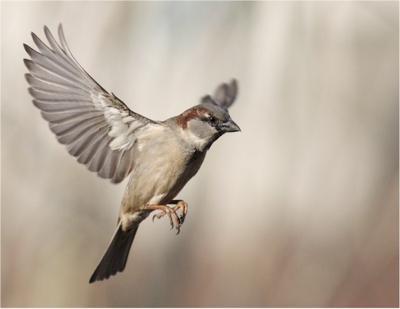 sparrow-birds-in-flight-21338587
